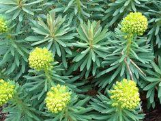 Euphorbia characias 'Dwarf' or Humpty Dumpty plant