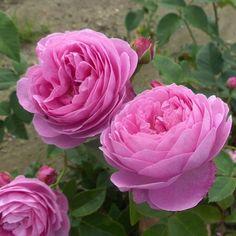 Rose 'Gertrude Jekyll