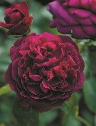 Rose breeders - Home - David Austin Roses - EU