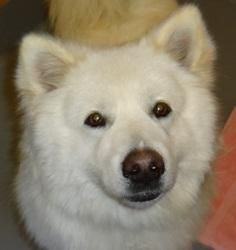 Buddy is an adoptable Samoyed Dog in Jefferson City, MO. Buddy was given up by hisowner. He is super nice. Buddy will require alot of grooming. Buddy is about 9 - 10 months old. The $50.00 adopti...