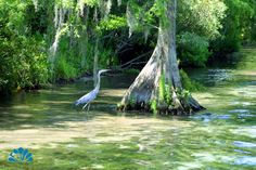 A Blue Heron wades in the water next to a Cypress Tree, as the river boat navigates the Weeki Wachee River