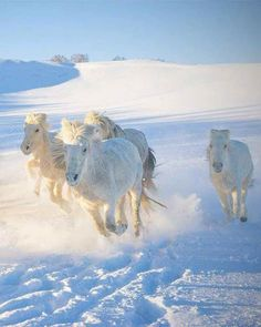 White horses running in the frosty cold snow.