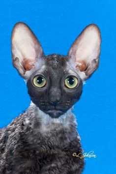 The Cornish Rex is very much an interactive participant in family activities. Full of fun-loving mischief, the Cornish Rex is a true charmer. Crazy Cat Lady, Crazy Cats, Weird Cats, Cornish Rex Cat, Sphynx, Ragdoll Cats, Devon Rex, Yorkie Dogs, Funny Socks
