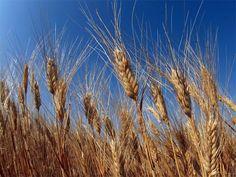 H Mόσχα θα φορολογήσει τις εξαγωγές δημητριακών ~ Geopolitics & Daily News