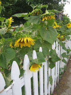 Fence with sunflowers - Flower Garden İdeas İn Front Of House Sunflower Garden, Sunflower Flower, Sunflower Fields, Garden Front Of House, House Front, Happy Flowers, Wild Flowers, Sun Garden, Garden Cottage