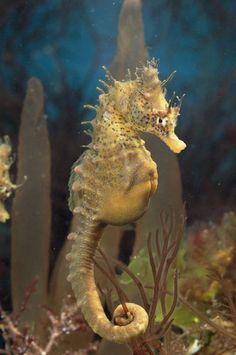Seahorses: pregnant MALE seahorse