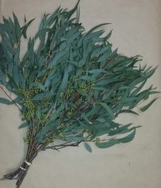 Image Result For Feather Eucalyptus