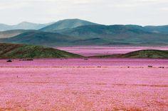 20 Minuten - El Niño verwandelt Wüste in ein Blumenmeer - News