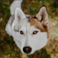 Two-toned Siberian Husky : aww Cute Dogs Images, Cute Dog Pictures, Animal Pictures, Cute Husky, Husky Puppy, Siberian Husky Funny, Siberian Huskies, Cute Turtles, Dog Art