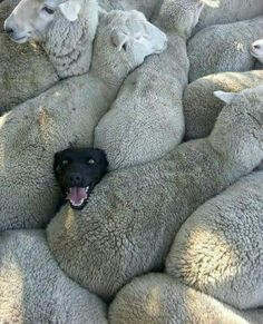 An image tagged dogs,funny dogs,sheep Cute Funny Animals, Funny Animal Pictures, Cute Baby Animals, Funny Dogs, Animals And Pets, Cute Dogs, Funny Memes, Dog Memes, Farm Animals