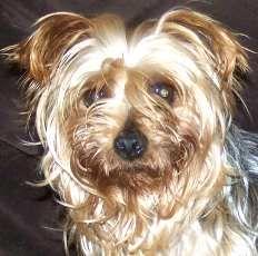 Petfinder  Adoptable | Yorkshire Terrier Yorkie | Dog | Sullivan, MO | Fiesta in MO