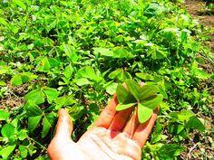 Plantas comestíveis                                                                                                                                                                                 Mais