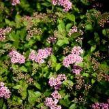 Tawuła japońska 'Little Princess' · Spiraea japonica Little Princess, Plants, Plant, Planets