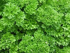 Petersilie, Kräuter, Pflanze