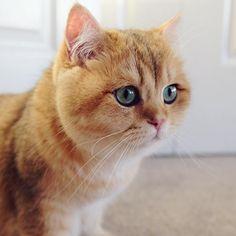 Golden British shorthair cat