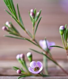 Geraldton Waxflower Waxflower Scientific Name Chamelaucium uncinatum Plant Type Perennial Blooming Winter Purple Flower Names, My Flower, Purple Flowers, Floral Design Classes, Wax Flowers, Flora Flowers, Wildflower Tattoo, Australian Flowers, Tree Identification
