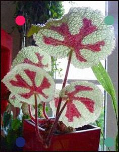 Beautiful Begonia Flower Seeds Flowers Potted Bbonsai Garden Courtyard Balcony Coleus Seeds for Home Garden Inside Plants, All Plants, Garden Plants, Indoor Plants, House Plants, Potted Garden, Bonsai Garden, Begonia, Flower Seeds