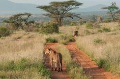 Réserve nationale de Samburu, Kenya#La réserve nationale de Samburu a des allures d'arche de Noé vivant. Expliquons-nous : 25 kilomètres d'oasis s'étalent tout le long de la rivière Ewaso Ngiro. Le soir, les animaux viennent s'abreuver, les lumières rasantes du jour déclinant sont féeriques… La réserve de Samburu est prolongée par celle des Buffalo Springs, de l'autre côté du fleuve, plus sèche mais tout aussi exubérante.#http://urlz.fr/3hty#thetreasureblog.wordpress.com