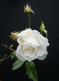 Amazing Flowers, Beautiful Roses, Beautiful Gardens, Beautiful Flowers, White Roses, White Flowers, Pink Roses, My Flower, Flower Power