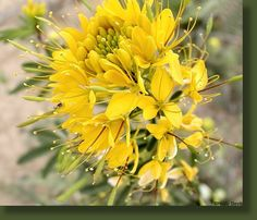 Yellow Spiderflower:  Capparaceae (Caper Family)  Cleome  lutea