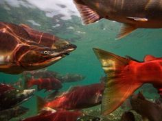 Six Pacific salmon species migrate back to Russia's remote Kamchatka Peninsula to spawn, their shapes and colors changing dramatically as they move into fresh water. Sockeye, the most valuable kind, dominates traffic in the Ozernaya River.