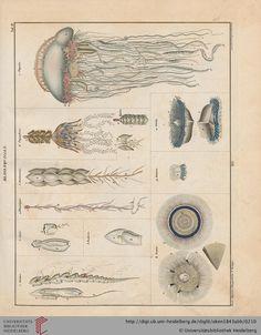 Jellyfish print .Oken, Lorenz: Allgemeine Naturgeschichte: für alle Stände: Abbildungen zu Oken's Allgemeiner Naturgeschichte für alle Stände (1843)