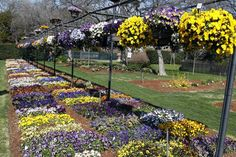 See the colorful tulips, daffodils, trailing pansies and more from Dallas Blooms at the Arboretum