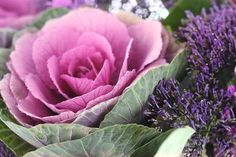 Ornamental Cabbage and Flowering Kale