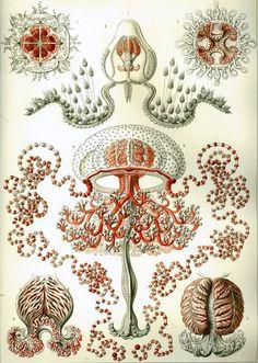 Ernest Haeckel prints