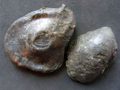 Gryphaea (Bilobissa) sublobata (Deshayes 1830) uploaded in German Gastropods and Bivalves: The one on the left measures 7cm. The one on the right sit... - Bajocien inférieur. Vallée de Wutach, Allemagne.