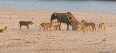 Indira Kobi's Blog: Brave heart: Baby elephant survives 14 attacking l...
