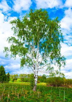 Ann-Kristina Al-Zalimi, Betula pendula, riippakoivu, koivu, finland, spring, kevät, birch, björk