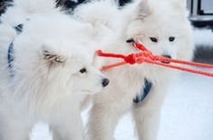 Samoyed dogs Stock Image
