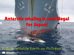 Antarctic whaling is now illegal for Japan!  / Follow Wildlife Earth on Pintrest!