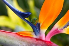 Gecko on the Bird of Paradise.. haha in Hawaii I saw tons of geckos! I also saw birds of Paradise ! :-)