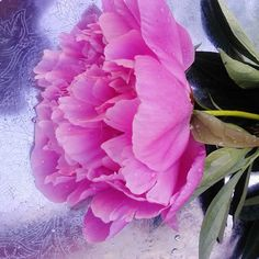 #pioni #tuoksu #kukka #liisako
