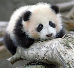 So cute!! Just look at that face :-) [Zhen Zhen - baby girl panda born at the San Diego Zoo]