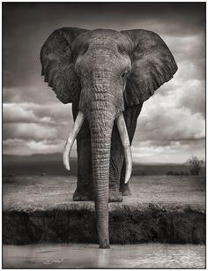 Magestic Elephant