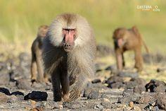 Papio hamadryas - Hamadryas baboon, Amadriade
