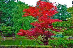 L'Acer rouge du Japon, Acer Palmatum, un arbre fabuleux, il illumine les jardins du printemps jusqu'à l'automne.