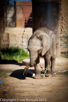 Lucas, baby elephant at the Toledo Zoo, Toledo Ohio  Copyright © Joe Kastura 2012