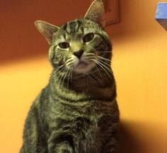 Meet Catty, an adoptable Domestic Short Hair looking for a forever home. If you're looking for a new pet to adopt or want information on how to get involved with adoptable pets, Petfinder.com is a great resource.