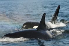 Grandma Orcas Are The Wisest Of Them All, And We're Not Surprised  https://www.thedodo.com/postmenopausal-orcas-are-the-w-1027121239.html