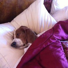 I am a tired Bassett Hound.  Hmmm... Think I will sleep in dad's spot tonight!