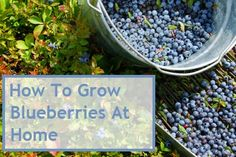 How To Grow Blueberries At Home http://www.herbsandoilsworld.com/how-to-grow-blueberries-at-home/