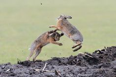 Rabbits, not bunnies … this Richard Peters photo shows these animals as they really are … which is often primal.