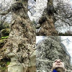 Asırlık çınar ağacı