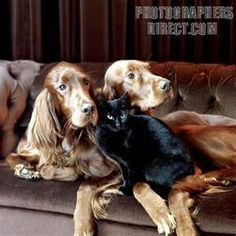 Image Search Results for red setter