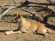 Dingo dog at the Alice Springs Desert Park #NTAustralia