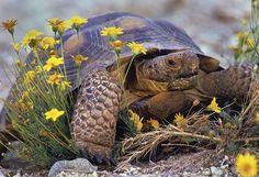 Desert tortoise.